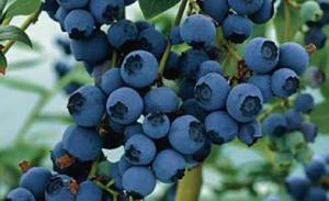 Blueberries for blog